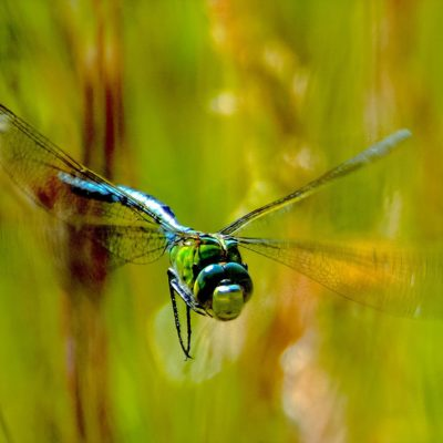 photography, gallery, photo, nature, dragonfly, wildlife